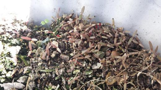 Kalunay seedlings.