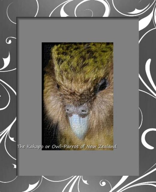 The Kakapo, aka The Owl Parrot