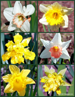 Daffodils: Growing and Maintenance