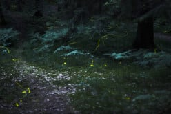 How Do Fireflies Glow (and Why)?