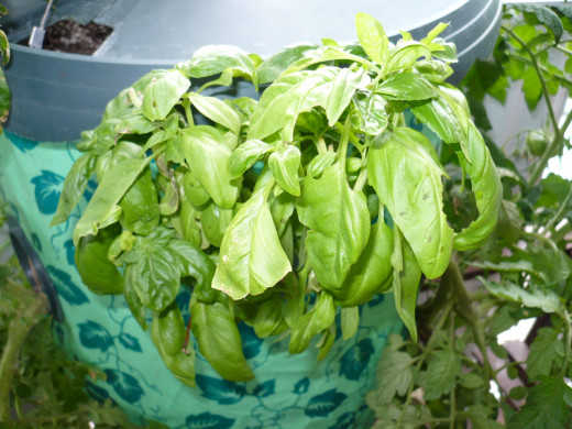 Fresh Basil Every day.