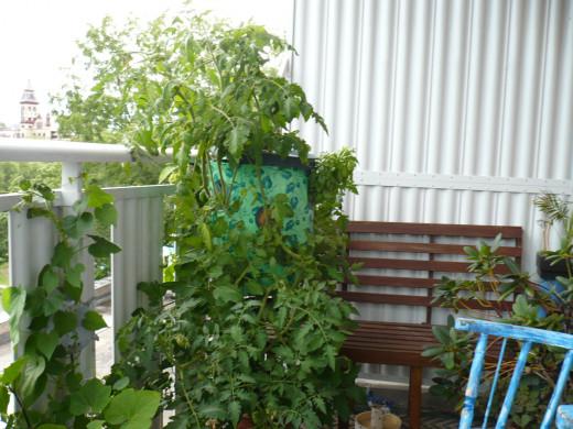 My second season of growing vegetables.