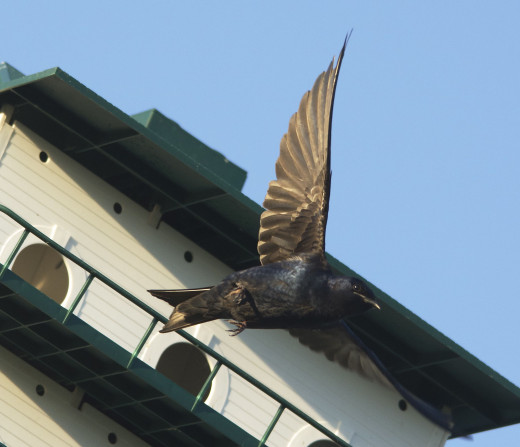 Male Purple Martin in Flight