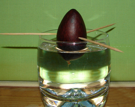 Growing your own avocado pear