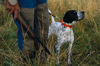 Never shoot a firearm near the sensitive-ears of your hunting dogs.