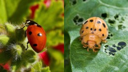Ladybug/Bean bug