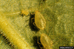 Tobacco aphids
