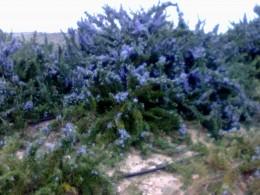 Rosemary growing wild in Spain