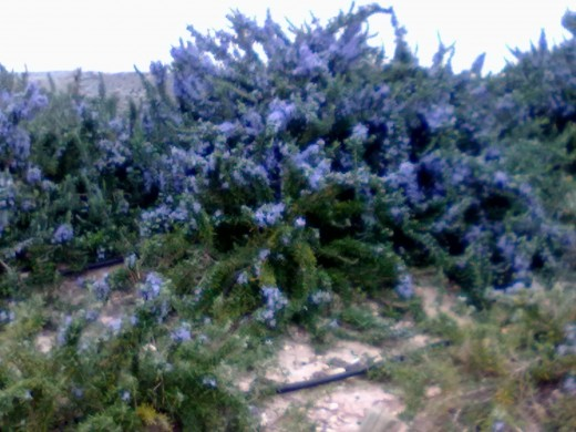 Rosemary growing wild in Spain
