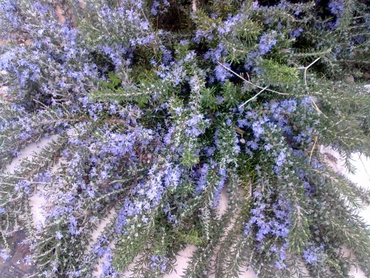 Rosemary in full bloom