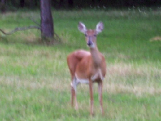 Where are the brown deer?