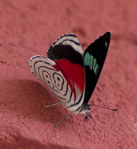 "A Central American butterfly known as ""Anna's 88"", for obvious reasons."