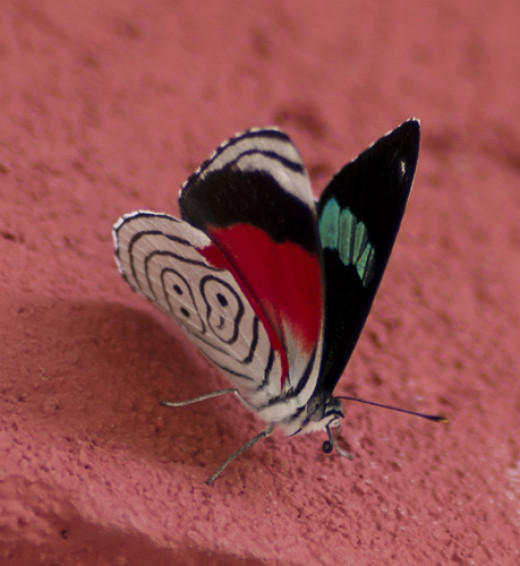 """A Central American butterfly known as """"Anna's 88"""", for obvious reasons."""