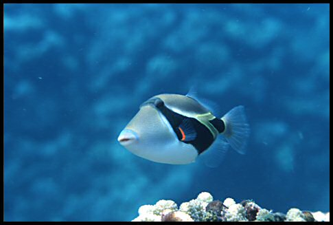 The reeftrigger fish the is the state fish of Hawaii.