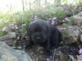 English Labrador Retrievers: Weeks Three and Four