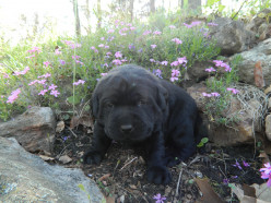 English Labrador Retrievers: Weeks Three and Four