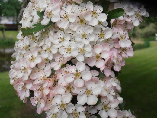 The flowers of the Hawthorn tree