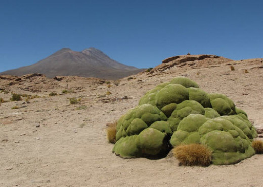 The Yareta in the Atacama- the green blob!