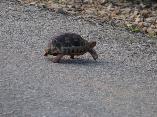 One of 5 types of Tortoise