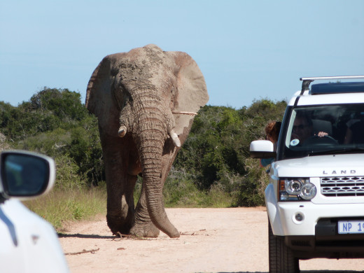 Elephant who owns the road.