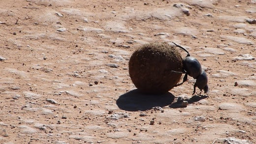 Someone has to do the job-the Flightless Dung Beetle