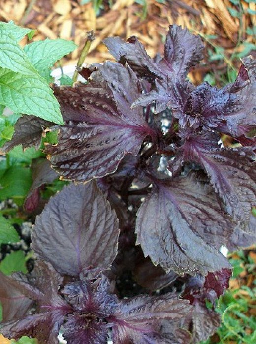 "Purple Basil ""Opal"""
