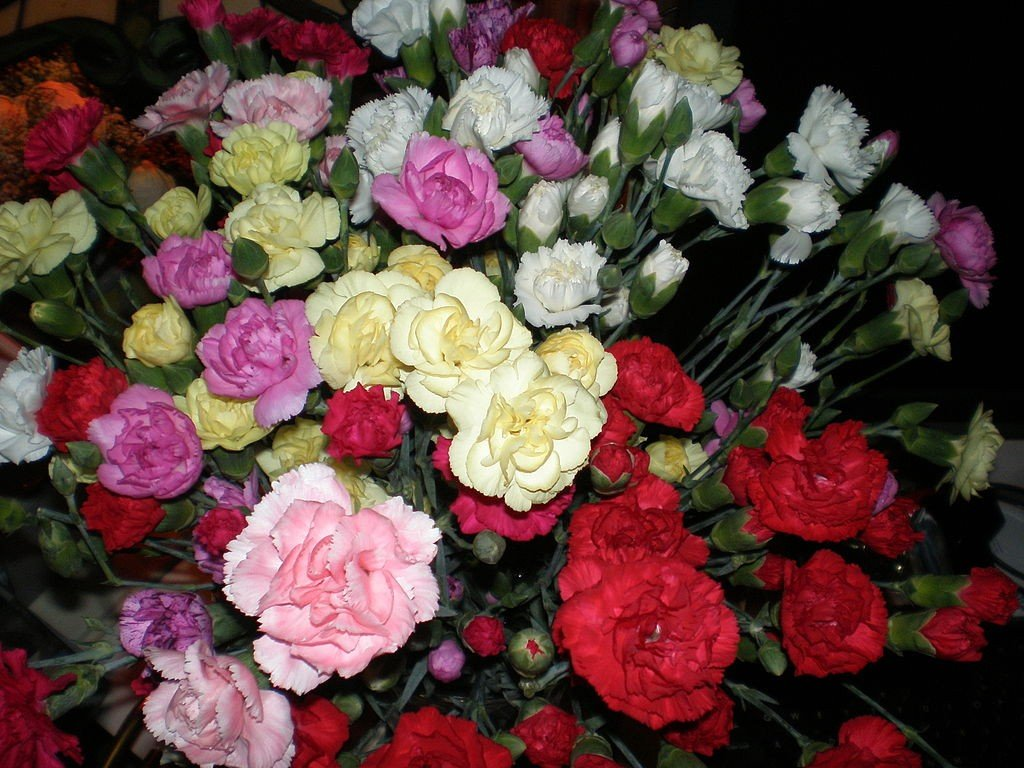 Carnation flowers meaning symbolism and association with mothers carnation flowers meaning symbolism and association with mothers day hubpages biocorpaavc