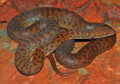 Python Snake Facts - Information about Pythons