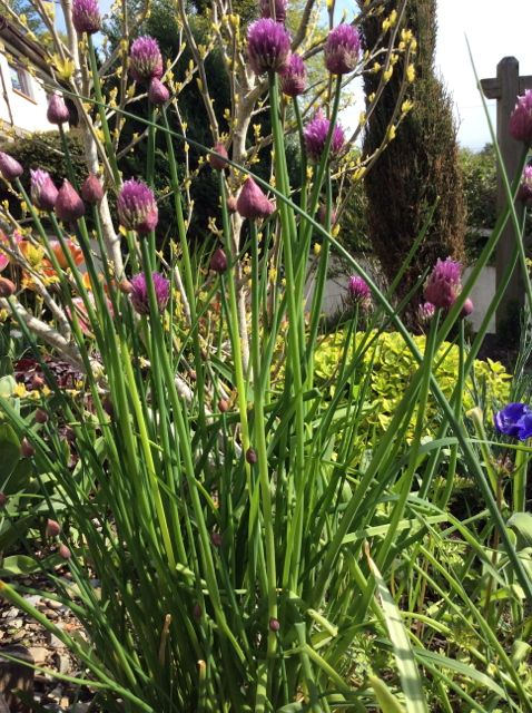 Chives: good for flowers and salad dishes