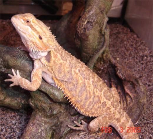 Bearded Dragon. Adult.