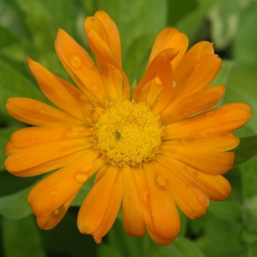 Calendula acts as a mild anti-viral, and has powerful antiseptic action. Calendula also acts as a wound healing herb.