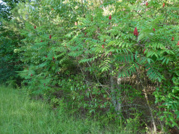 Sumac-grows quickly and spreads unless controlled-found on roadsides and terraced fields.