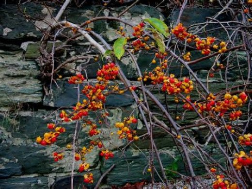 Bittersweet-popular in the late fall and used by crafters to make ornamental wreaths. The can spread and entwine themselves in trees.