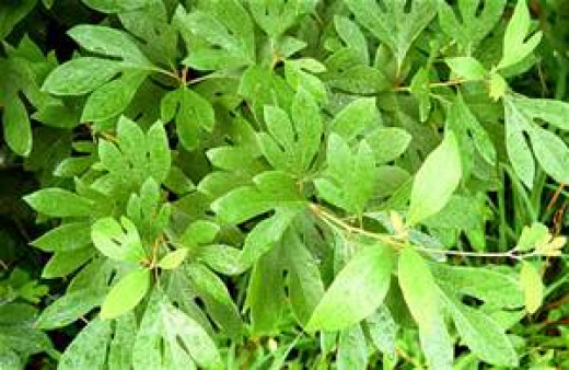 Sassafras grow here and are common along roadsides and in wind rows of terraced fields.