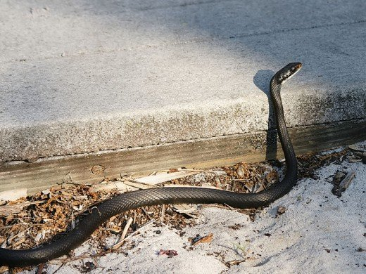 Southern Black Racer photographed at St. Sebastian River Preserve State Park in Indian River County, Florida, U.S.A.  As their name suggests, these snakes can move quickly, either to attack prey, or escape predators.