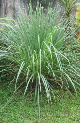 Lemon Grass is a source of food oil, pharmaceutical, cosmetic and medical applications.