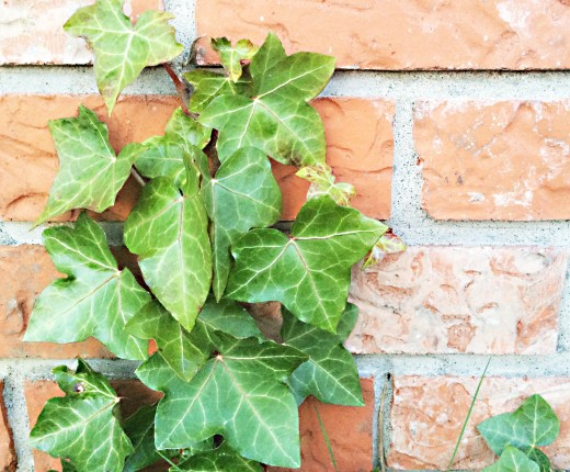English ivy growing on a brick wall