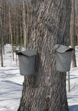 Sugar maple trees tapped using traditional taps and buckets.