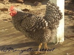 Heritage Breed Chickens, How To Choose the Best For You