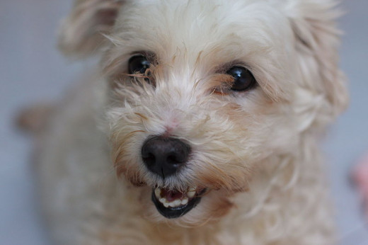 A rescued dog in Koi Samui, Thailand.