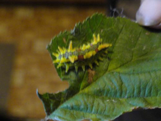 Caterpillar found by just turning over a leaf.