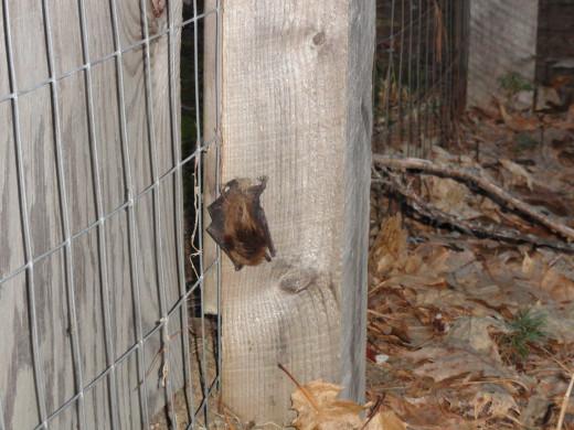 Bat sleeping on old dog pen.