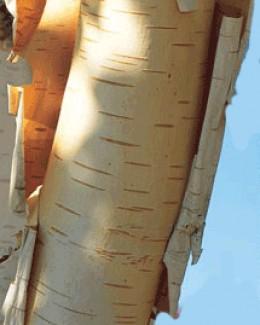 Papery bark of Betula utilis var. jacquemontii