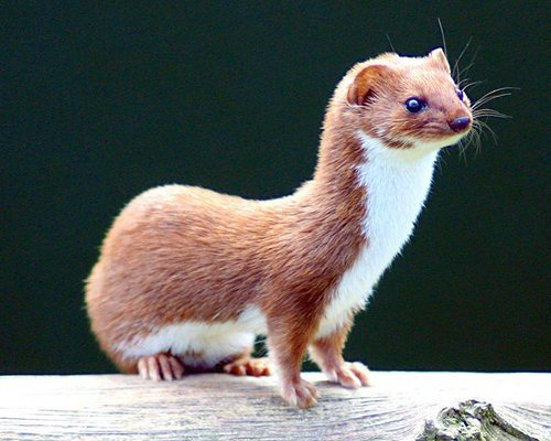 Least Weasel with a big personality  - this guy is cute so this poem is no reflection on him.