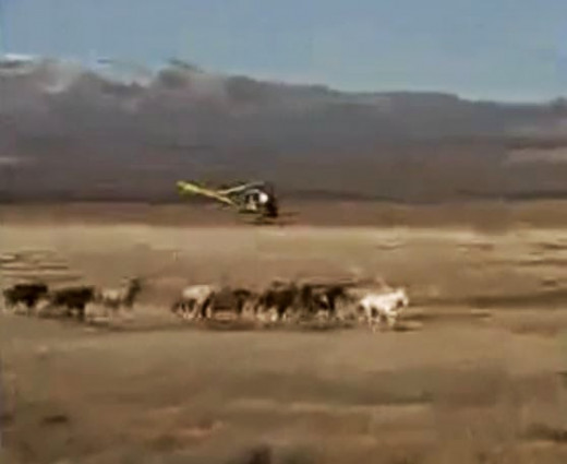 BLM agents use contract cowboys and helicopters to round-up horses and cattle at the Clifford Dann's ranch in 1994.