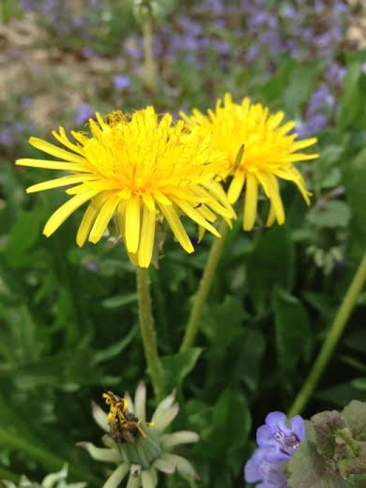 A beautiful dandelion plant in my back yard by our ground garden.