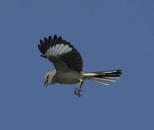 Displaying Northern Mockingbird