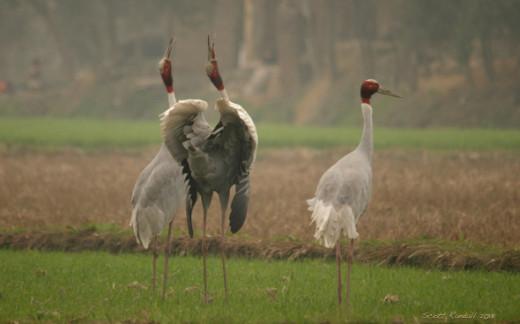 Sarus Crane Mating Ritual