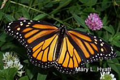 Bring Back The Monarch Butterflies By  Planting  Milkweed In Your Garden.