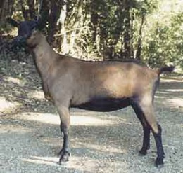 An oberhasli doe